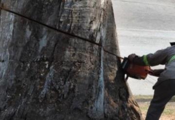 Talan árbol de 250 años de antigüedad en Cuautitlán