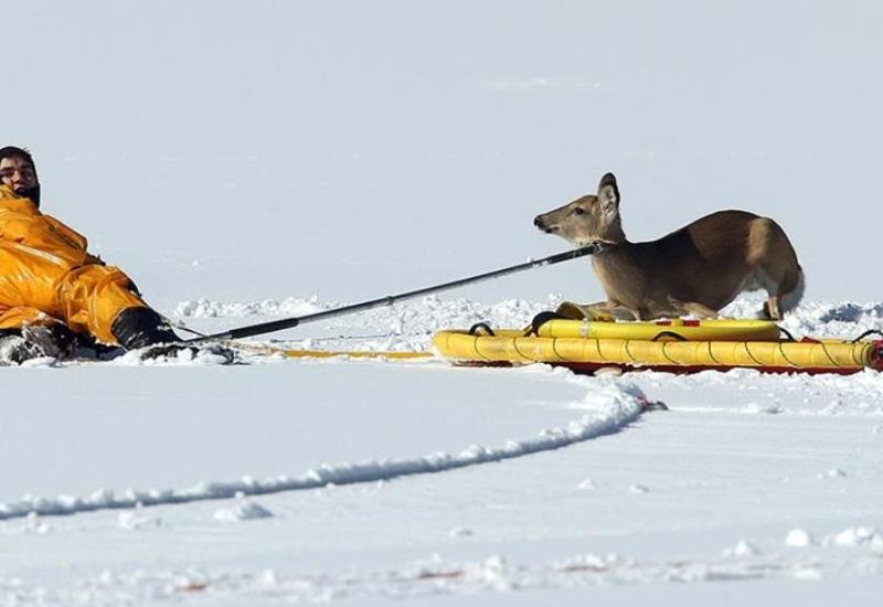 Rescatan a venado que estaba atrapado en estanque congelado