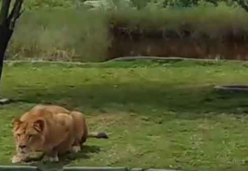 Leona salta al ´acecho´ de visitantes en Bioparque