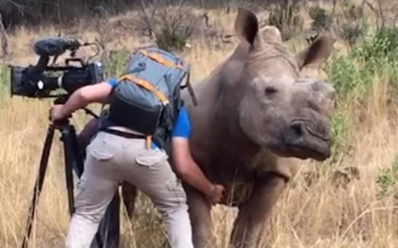 Rinoceronte pide a camarógrafo que le rasque la panza