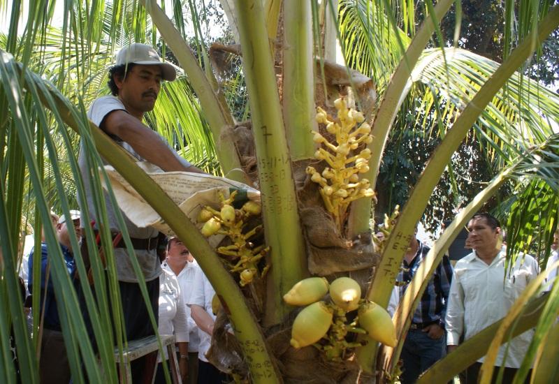 El coco de Tabasco se venderá en el mercado extranjero