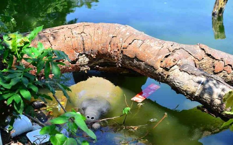 Muere manatí rescatado en la Laguna de las Ilusiones