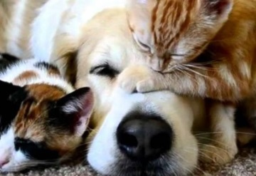 Conoce 10 razas de perros que suelen llevarse bien con gatos