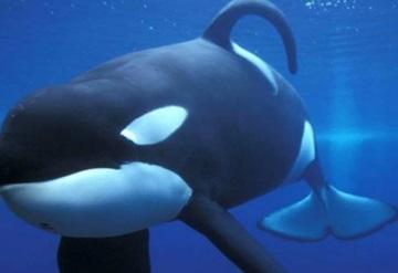 Nace en SeaWorld la última orca asesina en cautiverio