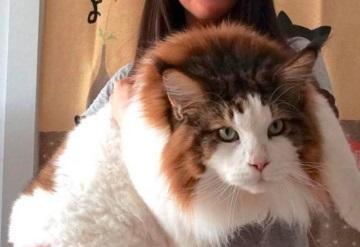 ¿El gato más grande del mundo? Mide casi metro y medio