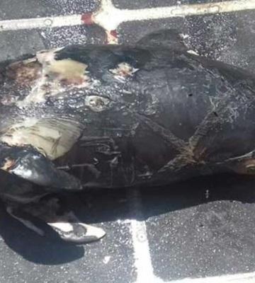 Encuentran otra vaquita marina muerta; van 3 en un mes