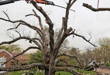 Árbol de 600 años es tirado en Nueva Jersey