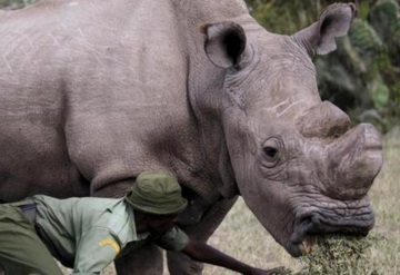 Rinoceronte blanco del norte busca pareja en Tinder