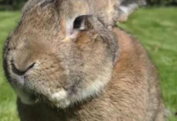 Conejo gigante muere ahora en vuelo de American Airlines