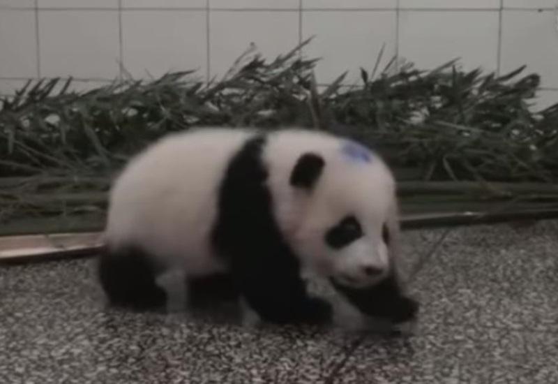 Bebé panda con hipo enternece las redes sociales