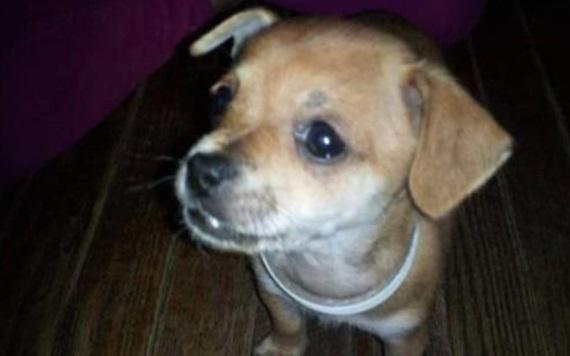 PETA secuestra y sacrifica a cachorro por error