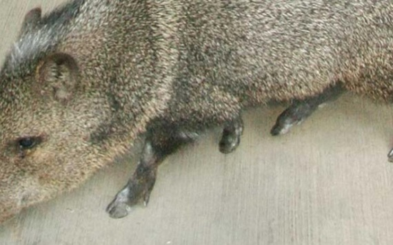 Roban animales del Zoológico para comérselos