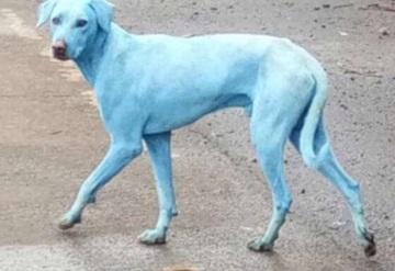 El misterio de los perros azules de Bombay, India