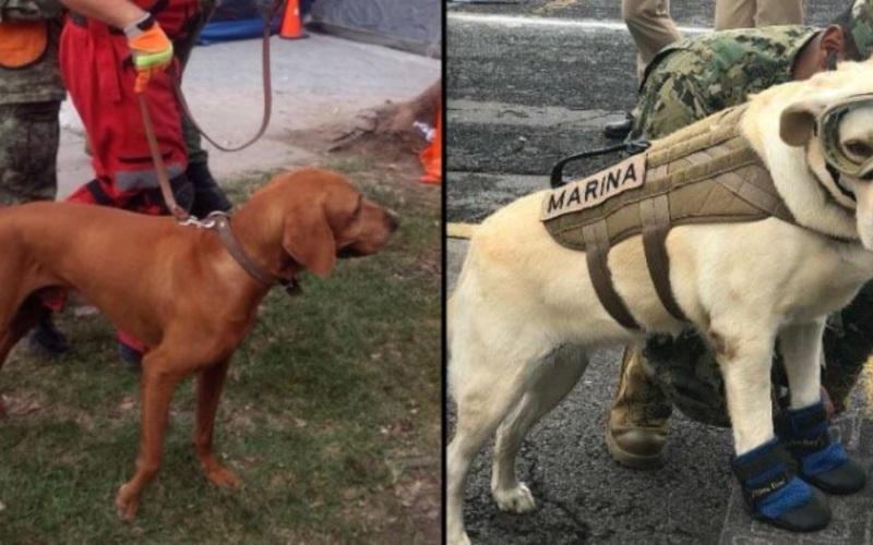 Frida y Titán los perros héroes  que han encontrado a 78 personas