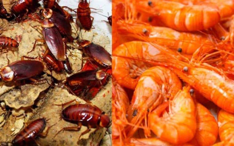 Comer camarones es igual que comer cucarachas: Expertos   Diario ...