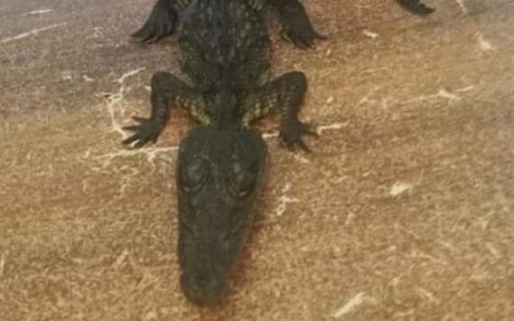 Venden cocodrilo como mascota en tianguis