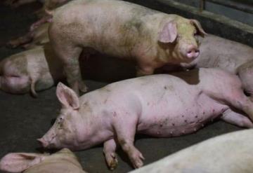 Nuevo brote de peste porcina africana, anuncia China