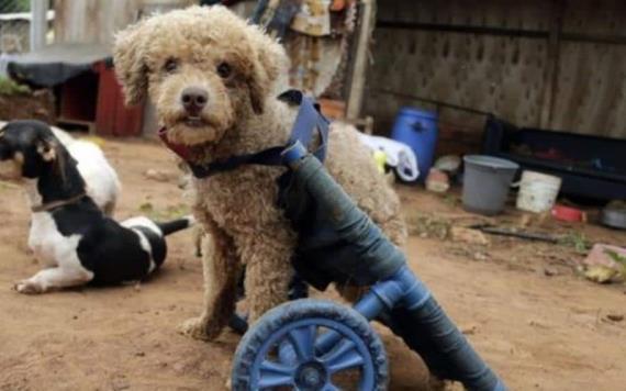 Mujer crea con basura sillas de ruedas para perritos discapacitados
