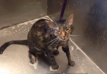 #VIDEO Gato habla y le ruega a su dueña que no lo bañe más