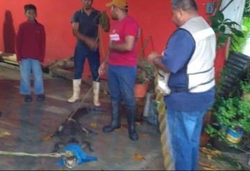 Visita inesperada: Lagarto irrumpe en casa en Cárdenas