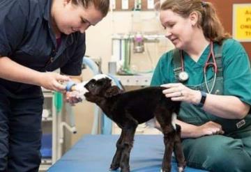 Lil Bil es; la vaca más pequeña del mundo