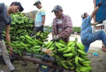 Disminuye un 30% la producción de plátano en Tabasco