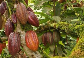 La ´piratería´ alcanza al cacao tabasqueño; amenaza a productores