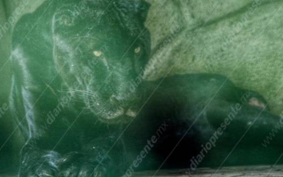 Jaguar Negro del Parque La Venta se encuentra en su última etapa de vida