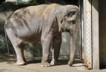 VIDEO: Hombre golpeó a un elefante y murió aplastado