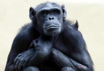 Le diagnostican cáncer a chimpancé y lo sacrifican