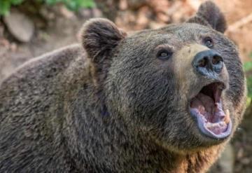 Hombre logró sobrevivir a un ataque de oso gracias a que le mordió la lengua