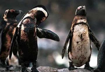 Ambientalistas salvan a pingüinos llenos de petróleo