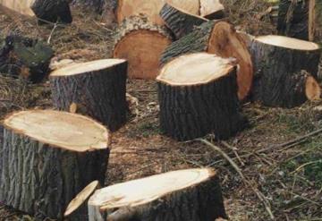 Por querer formar parte del programa `Sembrando vida´ talan árboles de hasta 100 años de antigüedad