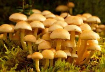 Por consumir hongos venenosos muere familia indígena