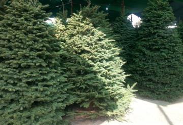 Profepa rechaza miles de árboles de Navidad por plaga