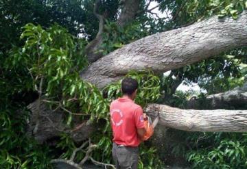 Caída de enorme árbol bloqueó totalmente carretera Jonuta-Centla