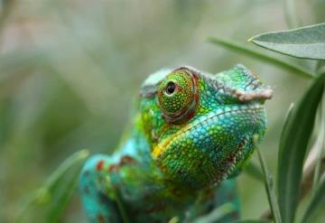 Científicos hallan camaleón de Voeltzkow; fue visto por última vez hace un siglo