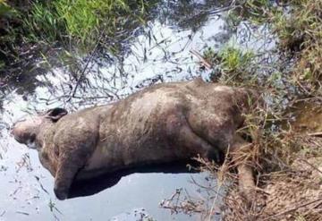 Tras la inundación cientos de cabezas de ganado siguen muriendo