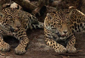 Semarnat y Fonatur liberan dos jaguares hembra en su hábitat natural