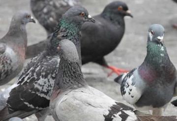 Riesgos de enfermedades producidas por las aves como son las Palomas