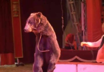 Rescatan a oso con 12 años de cautiverio trabajando para un circo