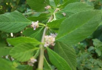 Encuentran compuesto en planta que podría contrarrestar células cancerosas